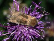 Chersotis cuprea (Kupfereule) / NOCTUIDAE (Eulen)