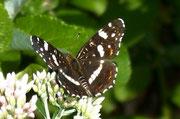 Araschnia levana (Landkärtchen, Sommerform)  / NYMPHALIDAE/Nymphalinae (Edelfalter)