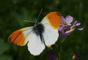 Anthocharis cardamines (Aurorafalter, Männchen) / PIERIDAE/Pierinae (Weisslinge)