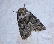 Cryphia domestica (Weissliche Flechteneule) / NOCTUIDAE (Eulen)