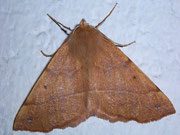 Colotois pennaria (Federspanner) / GEOMETRIDAE/Ennominae (Spanner)