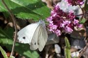 Pieris napi (Rapsweissling, Grünaderweissling, Männchen) / PIERIDAE/Pierinae (Weisslinge)
