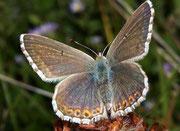 Polyommatus coridon Silbergrüner Bläuling, (Weibchen) / LYCAENIDAE/Polyommatini (Bläulinge)