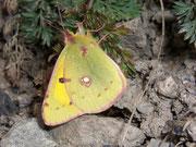 Colias croceus (Postillon, Wandergelbling) / PIERIDAE/Coliadinae (Weisslinge, Gelblinge)