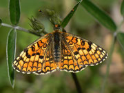 Melitaea deione (Weibchen) / NYMPHALIDAE/Tribus Meliteaini (Edelfalter)