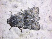 Polymixis xanthomista (Blaugraue Steineule) / NOCTUIDAE (Eulen)