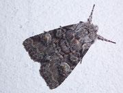 Brachylomia vinimalis (Korbweideneule) / NOCTUIDAE (Eulen)