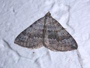 Scotopteryx bipunctaria (Zweipunkt-Wellenstriemenspanner) / GEOMETRIDAE/Larentiinae (Spanner)