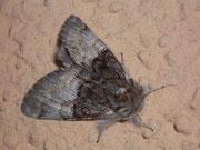 Pantheidae