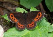 Erebia ligea (Weissbindiger Mohrenfalter, Weibchen) / NYMPHALIDAE/Tr. Erebiini (Edelfalter)