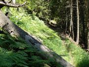 Fichtenwald im Calancatal GR