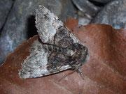 Colocasia corylii (Haseleule) / NOCTUIDAE/Pantheinae (Eulen)