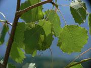 Sciota hostilis / CH BE Hasliberg 1060 m, 25. 06. 2016 (Raupe in zusammen gesponnenen Blättern von Populus tremula)