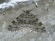 Entephria caesiata (Veränderlicher Gebirgs-Blattspanner) / GEOMETRIDAE/Larentiinae (Spanner)