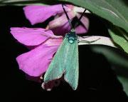 Adscita alpina (Alpen-Grünwidderchen) /  ZYGAENIDAE/Procridinae (Widderchen)