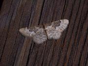 Idaea rusticata (Südlicher Zwergspanner) / GEOMETRIDAE/Sterrhinae (Spanner)