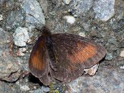 Erebia mnestra (Blindpunkt-Mohrenfalter) / NYMPHALIDAE/Tr. Erebiini (Edelfalter)