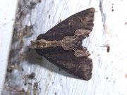 Dypterygia scabriuscula (Dunkle Knötericheule) / NOCTUIDAE (Eulen)