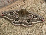 Saturnia pavonia (Kleines Nachtpfauenauge) / SATURNIIDAE (Nachtpfauenaugen)