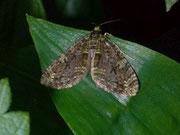 Episauris kiliani / GEOMETRIDAE/Larentiinae (Spanner)