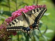 Papilio machaon (Schwalbenschwanz) / PAPILIONIDAE/Papilioninae (Ritterfalter)