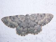 Charissa glaucinaria (Grüngraugebänderter Steinspanner) / GEOMETRIDAE/Ennominae (Spanner)