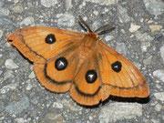 Saturniidae (Pfauenspinner)