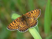 Melitaea cinxia (Gemeiner Scheckenfalter) / NYMPHALIDAE/Tribus Meliteaini (Edelfalter)