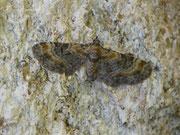 Eupithecia pyreneata