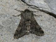 Apocheima hispidaria (Gelbfühler-Dickleibspanner) / GEOMETRIDAE/Ennominae (Spanner)