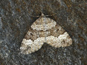 Colostygia turbata / GEOMETRIDAE/Larentiinae (Spanner)