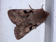 Orthosia gothica (Gothica Kätzcheneule)  / NOCTUIDAE (Eulen)
