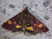 Pyrausta aurata (Goldzünsler) / CRAMBIDAE/Pyraustinae(Zünsler)