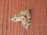 Trichopteryx polycommata (Gestrichelter Bindenspanner) / GEOMETRIDAE/Larentiinae (Spanner)