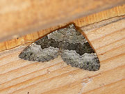 Colostygia aptata (Grünbrauner Bindenspanner) / GEOMETRIDAE/Larentiinae (Spanner)