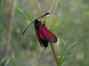 Zygaena purpuralis (Thymian-Widderchen)