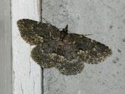 Parascotia fuliginaria (Pilzeule) / NOCTUIDAE (Eulen)