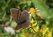 Lycaena hippothoe eurydame (w)