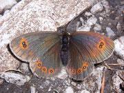 Erebia oeme oeme (Doppelaugen-Mohrenfalter) / NYMPHALIDAE/Tr. Erebiini (Edelfalter)