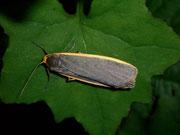 Eilema depressa (Nadelwald-Flechtenbärchen) / ARCTIIDAE/Lithosiinae (Bärenspinner)