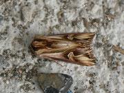 Actinotia polyodon (Vielzahn-Johanniskrauteule) / NOCTUIDAE (Eulen)