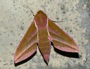 Deilephila elpenor (Mittlerer Weinschwärmer) / SPHINGIDAE (Schwärmer)