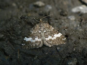 Perizoma affinitata (Dunkler Lichtnelken-Kapselspanner) GEOMETRIDAE/Larentiinae (Spanner)