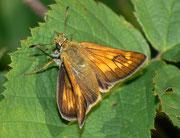 Ochlodes sylvanus (Rostfarbiger Dickkopffalter, Weibchen) / HESPERIIDAE (Dickkopffalter)