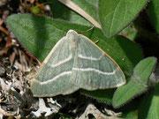 Hylaea fasciaria prasinaria