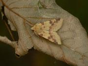 Xanthia icteritia (Bleich-Gelbeule) / NOCTUIDAE (Eulen)