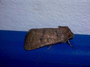 Hoplodrina blanda / NOCTUIDAE (Eulen)