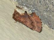 Ptilodon capucina (Kamel-Zahnspinner) / NOTODONTIDAE (Zahnspinner)