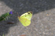 Colias hyale (Goldene Acht) / PIERIDAE/Coliadinae (Weisslinge, Gelblinge)