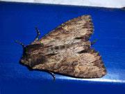 Apamea crenata (Grosse Veränderliche Grasbüscheleule / NOCTUIDAE (Eulen)
